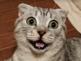 ニコッと笑うスコティッシュフォールドの猫が可愛い!