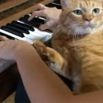 邪魔する猫たち♪ ピアノ演奏中に猫が乱入!