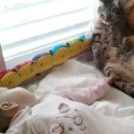 急に赤ちゃんが起き出して戸惑う猫、その後、ずっこけのハプニングが(笑)
