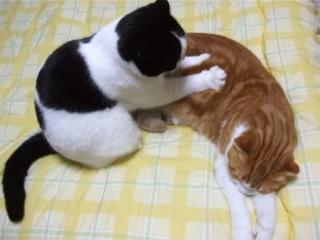 スコティッシュフォールドの猫さんが、もみもみと丁寧にマッサージ♪