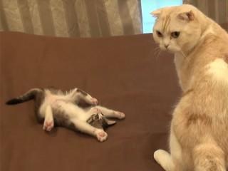 子猫の腹出しファイティングポーズ! これには成猫も唖然(笑)
