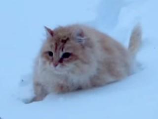 たくましや! ロシアの猫は、深い雪の中を泳いでやって来る!