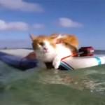 片目を失った猫が、ハワイのビーチでサーフィンを楽しむ♪