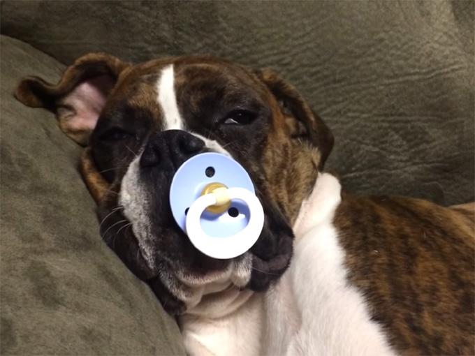 おしゃぶりを咥えたボクサー犬