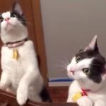 天井にシーリングファンを取り付けたら、うちの猫たちに異変が!