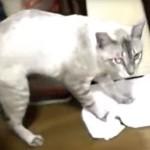 床掃除をする凄い猫、本当に布で床を拭いている!