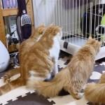 マンチカンの猫一家が、初めて子犬とご対面! 執拗なガン見が笑えます♪