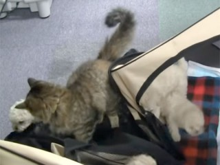 発覚! ゲージが壊れているのかと思ったら、猫が子犬たちの脱走を手伝っていた!