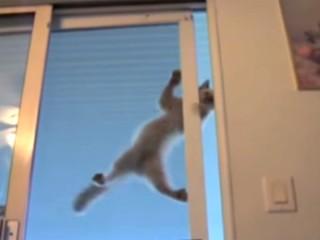 スパイダーキャット! 窓や壁を難なく登り降りする猫たち♪