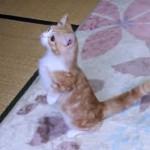 マンチカンの子猫♪ 初めて見るシャボン玉に興奮して鳴く