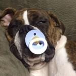 ボクサー犬が、おしゃぶりをくわえたまま寝ちゃった♪