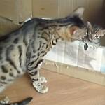 ベンガル猫の親子、鳴き声がとっても可愛い♪