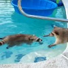 アライグマがプールで気持ち良さそうに泳ぐ姿が可愛い♪
