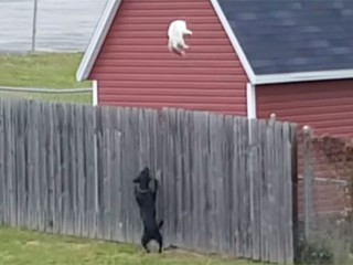 逃げる猫が塀を大ジャンプ!「あっ、飛びすぎたニャ…」
