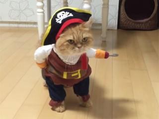 猫の海賊船長♪ 思わず笑ってしまう猫のコスチューム