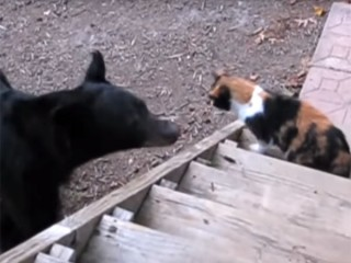 クマを追い払う凄い猫! 猫パンチ一発で「通さないニャ!」