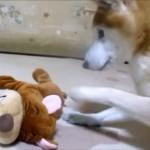 柴犬が「爆笑犬」の笑いにつられて大いに遊ぶ!