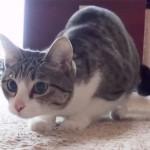 おしりフリフリの仕草が可愛い猫のおはぎちゃん♪ でも、同居のチワワにフリフリを止められる!