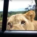 びっくり! ライオンが車のドアを開けちゃった! ライオンを大きな猫と思ったらいけません!