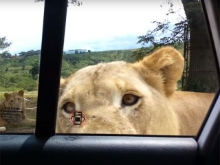 びっくり! ライオンが車のドアを開けた! ライオンを大きな猫ではありません!