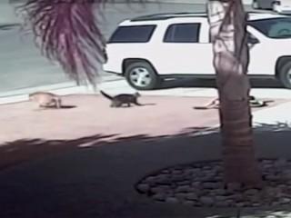 子どもを襲った犬に体当たり! 勇敢な猫の動画