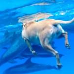 犬が海に飛び込んで、イルカたちのいる海で泳ぐ!