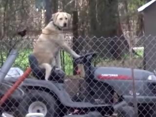 可愛すぎる放送事故! トラクターに乗る犬の姿にレポーターの笑いが止まらない!