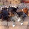 世界で最も忍耐強い猫! 子犬の集団に囲まれても耐え抜いた!