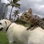 犬を踏み台にして、華麗にジャンプするベンガル猫♪