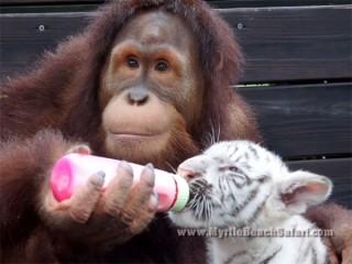 トラの赤ちゃんを世話するオランウータンのベビーシッター♪