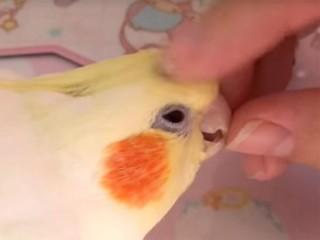甘えん坊なオカメインコの面白動画♪ ナデナデ、スリスリが可愛い過ぎる!
