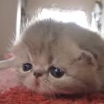 生後3週間のエキゾチックショートヘアーの子猫♪ ママを呼んでいる鳴き声が可愛いすぎる!