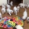 生後2ヶ月のラグドールの子猫たち♪ 勢揃いして遊んでいます!