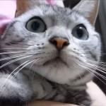アメショの猫あめちゃん、カミキリ虫に手を噛まれてびっくり! 思わず「ワン!」と鳴いた!