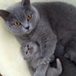 「ママ痛いにゃ~!」つい力が入ってしまうブリティッシュショートヘアの母猫