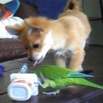 インコ vs チワワ、ヨーグルトの容器を奪い合う面白動画