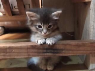 怯える子猫が、決心して段差を飛び越える面白動画
