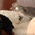 子猫がドーベルマンに猫パンチ!キュン死の萌え動画