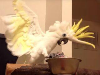 雄叫びがうるさいと注意され、反省した白色オウムの動画