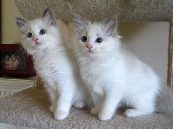 生後9週間のラグドールの子猫が可愛い♪