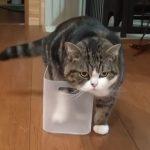 諦めない猫まる 「どんな箱にも入れるにゃ!」
