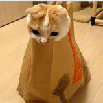 スコティッシュフォールドのポッケ、袋に入ってモゾモゾ遊ぶ動画