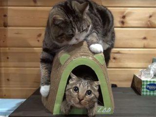 ネズミ型の爪とぎで遊ぶ猫の「まる&はな」