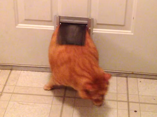 ぽっちゃり猫が、猫ドアを必死でくぐり抜ける!