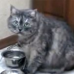 ぽっちゃり猫が、お皿を鳴らしてご飯を催促♪