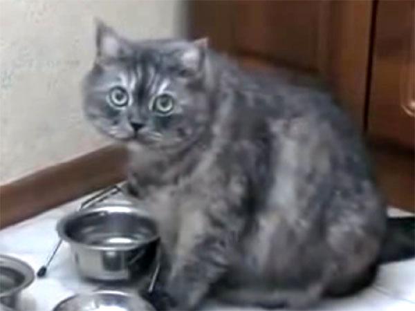 ぽっちゃり猫が、お皿を鳴らしてご飯を催促