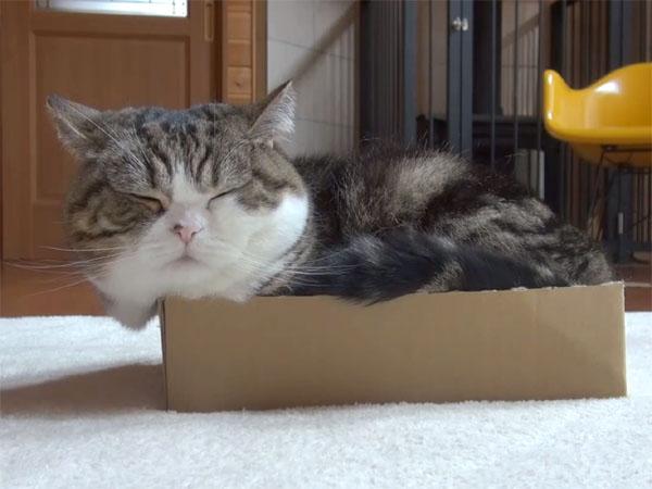 まる(Maru)が箱に入って寝る