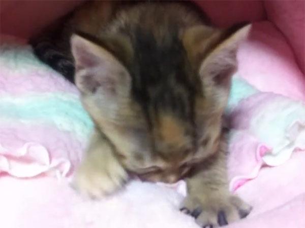 子猫のふみふみ♪ タオルもちゅぱちゅぱと吸っています