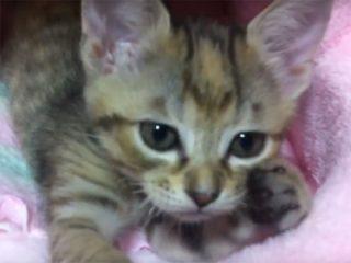 子猫の前足ふみふみ♪ タオルも、ちゅぱちゅぱと吸っています