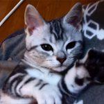 喉をゴロゴロ鳴らして甘える子猫♪